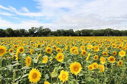 大曲湖畔園地のひまわり畑