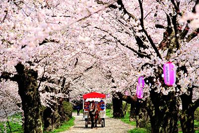 みちのく三大桜と津軽鉄道お花見列車