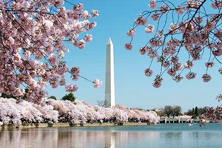 ワシントン記念塔と桜並木